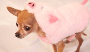 dog halloween costume pig