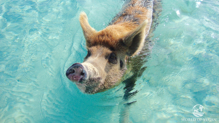 Sadly, Pig Beach Isn't Paradise for the Swimming Pigs