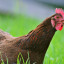 Five Fascinating Facts About Chickens