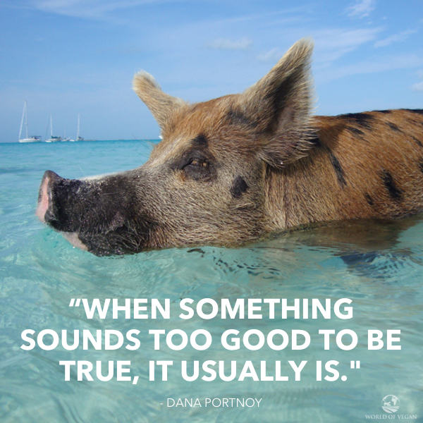 The Sad Life of Pigs on Pig Beach | Swimming Pigs in the Caribbean | WorldofVegan.com | #vegan #animals #pigs #caribbean #vacation #bahamas
