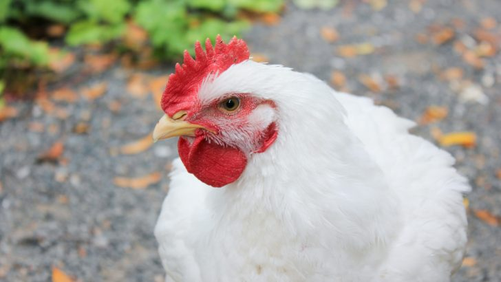 A Chicken Named Iann: Factory Farm to Freedom